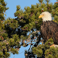 Bald Eagle in fir tree