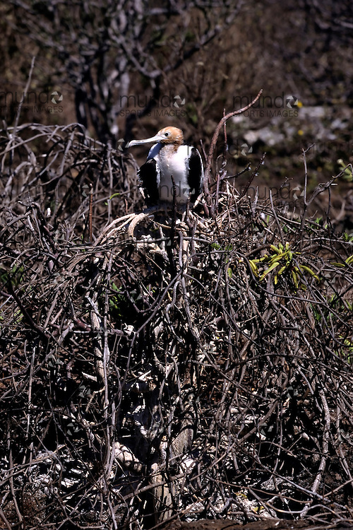 A great frigatebird (fregata minor) chick sits in its nest on Genovesa Island in the Galapagos Islands of Ecuador.