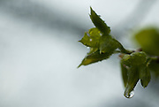 Green spring leaves with water drops on them, Manitoba Canada.