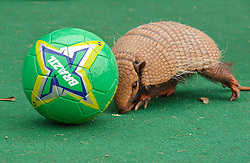 © Licensed to London News Pictures. 11/06/2014; Bristol, UK.  Animal species from Brazil at Bristol Zoo get ready for the World Cup 2014 hosted by Brazil.  Tilly, a one year six-banded armadillo from Brazil plays with a football.  Tilly, one of the Zoo's six-banded armadillos, can be seen in the amazing animal show daily during peak season. Whilst the South American six-banded armadillo's conservation status is not critical, the Zoo's armadillos are still part of a conservation breeding programme, which is monitored by a European studbook.<br /> Photo credit: Simon Chapman/LNP