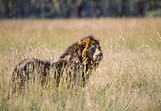 Old Lion, Samburu, Kenya, July, 2002