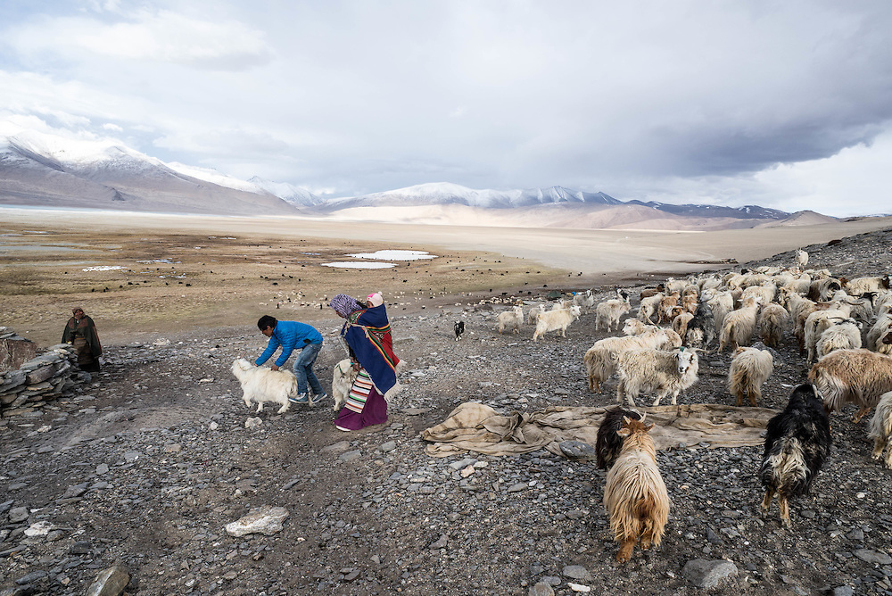 Tibetan nomads gather their herds for feeding in the evening near the shores of Tso Kar lake, Ladakh