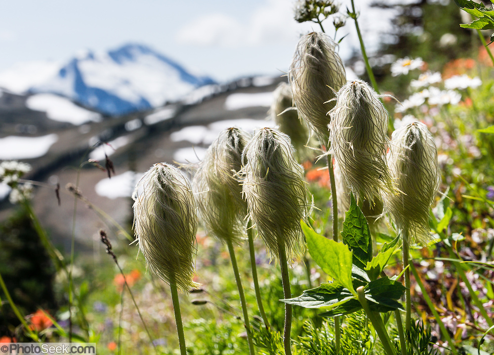 Western Pasqueflower (Anemone occidentalis, or Pasque Flower) grows on the High Note Trail on Whistler Mountain, in the Coast Range, British Columbia, Canada. In the distance, Castle Towers Mountain rises to 2676 meters elevation (8780 feet) in Garibaldi Provincial Park.