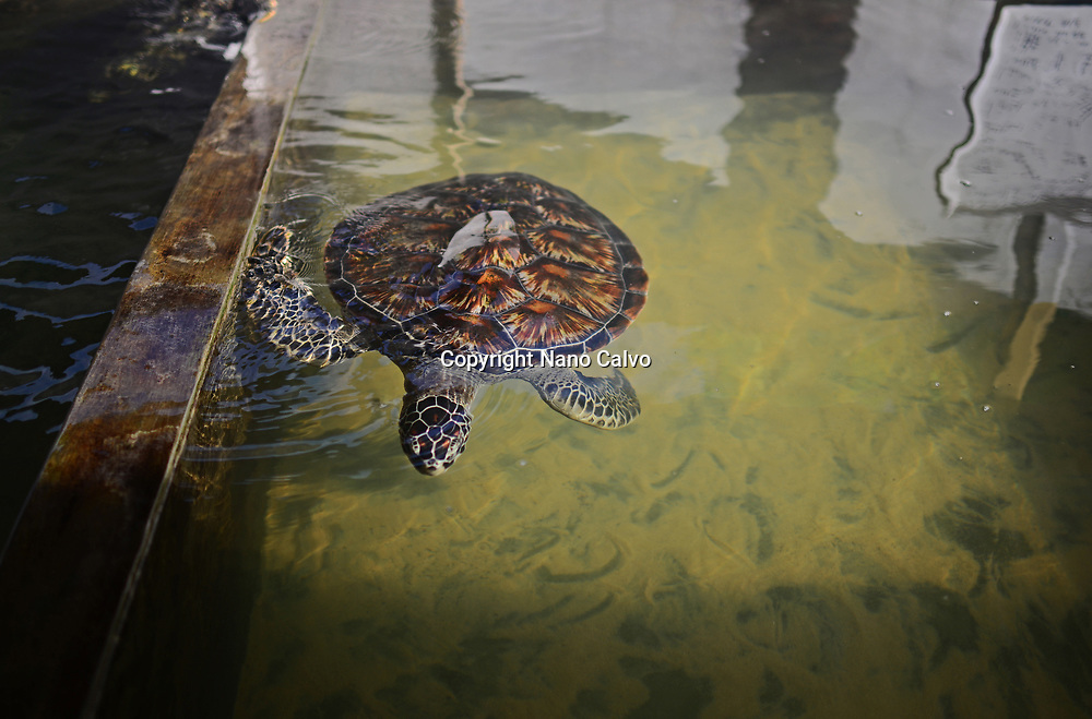Sea Turtle Hatchery and Rescue Center founded by B.K. Ariyapala in Paraliya, Sri Lanka