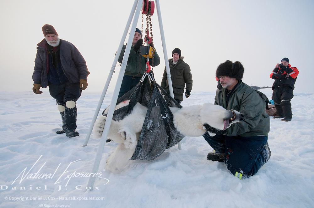 The polar bear team weighs a female polar bear. Arctic Ocean