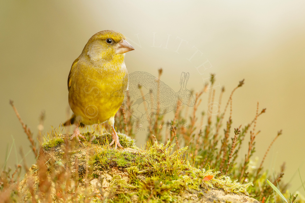 Greenfinch (Carduelis chloris) adult male, percrched on mossy rock, Norfolk, UK.