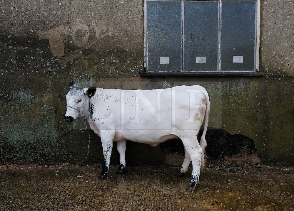 © Licensed to London News Pictures.14/07/15<br /> Harrogate, UK. <br /> <br /> A cow waits to be washed on the opening day of the Great Yorkshire Show.  <br /> <br /> England's premier agricultural show opened it's gates today for the start of three days of showcasing the best in British farming and the countryside.<br /> <br /> The event, which attracts over 130,000 visitors each year displays the cream of the country's livestock and offers numerous displays and events giving the chance for visitors to see many different countryside activities.<br /> <br /> Photo credit : Ian Forsyth/LNP