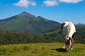 Pottoka - Basque Horse
