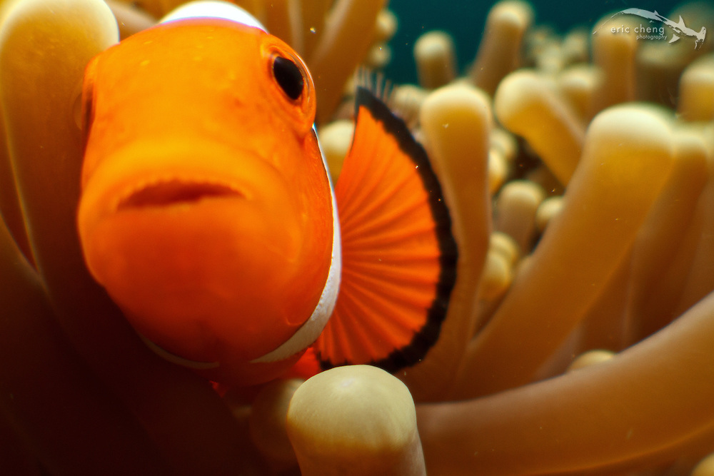 A false clown anemonefish (Amphiprion ocellaris) in her host anemone. Ambon, Indonesia.