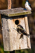 Tree Swallow - Tachycineta bicolor building the nest in a nesting box
