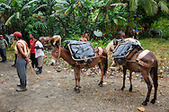 Pack horses used to harvest cacao in the mountains near Baracoa, Guantanamo Province, Cuba.