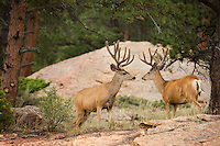 Looks like a challenge for dominance, as two buck mule deer (Odocoileus hemionus)stare eachother down in Rocky mountain national park. Note the velvet antlers in mid-August.
