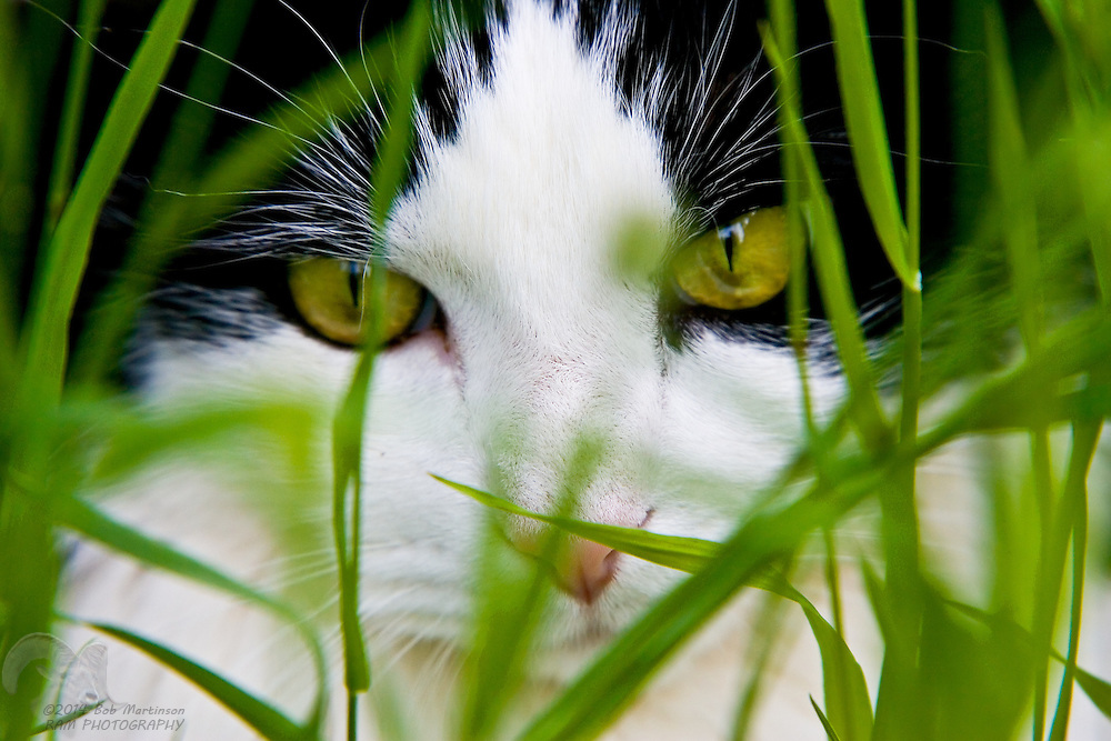 A black and white cat hunts for mice in tall grass.