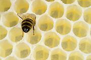 Honey bee (Apis mellifera), Kiel, Germany | Die Honigbiene (Apis mellifera) bei Bauarbeiten. Dies ist eine frisch aus Wachs gebaute Bienewabe.  Kiel, Deutschland