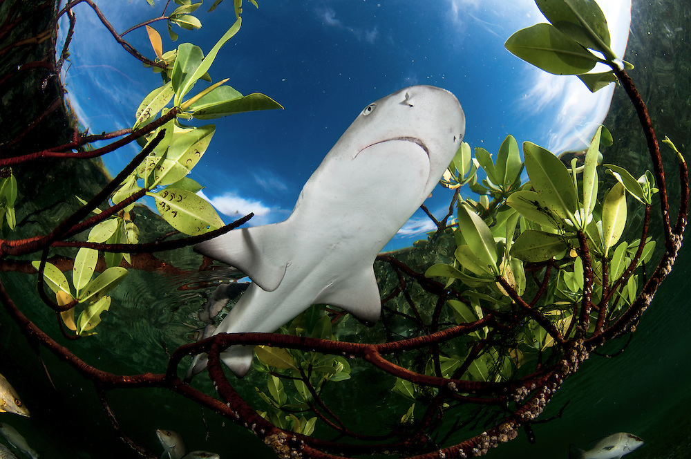Lemon sharks depend on mangroves for the survival of the first 5-8 years of their lives. Mangroves are disappearing throughout the world and the fate of the lemon shark is left in the balance. We need to get proper protections for the world's mangroves and then enforce them.