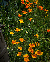 Yellow, White, and Orange Californial Poppies. Image taken with a Leica CL camera and 60 mm f/2.8 lens (ISO 100, 60 mm, f/5, 1/1250 sec).
