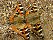 An orange, black and yellow butterfly in Nepal, mating with another.