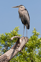 A great blue heron (Ardea herodias) looks out on the Gatorland alligator breeding marsh and bird sanctuary near Orlando, Florida. The bird sanctuary is the largest and most easily accessible wild wading bird rookery in east central Florida.