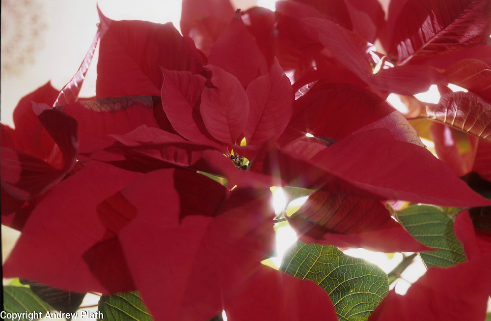 Poinsettias blooming against a white background.