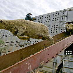 A domestic sheep leaps from the truck Wilder, Idaho rancher Frank Shirts during a mass release into the Boise foothills on Tuesday. Over 2,500 domestic sheep will be grazing in the hills, eating their way up to the high country, according to the Gretchen Hyde, Executive Director of the Idaho Rangeland Resource Commission. Tuesday April 12, 2016