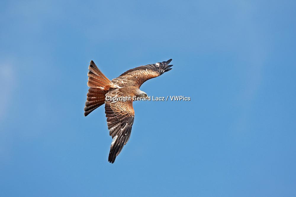 Red Kite, milvus milvus, Adult in Flight against Blue Sky