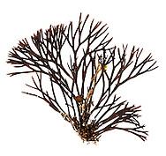 Furcellaria lumbricalis
