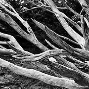 Dead Tree, Point Reyes National Seashore