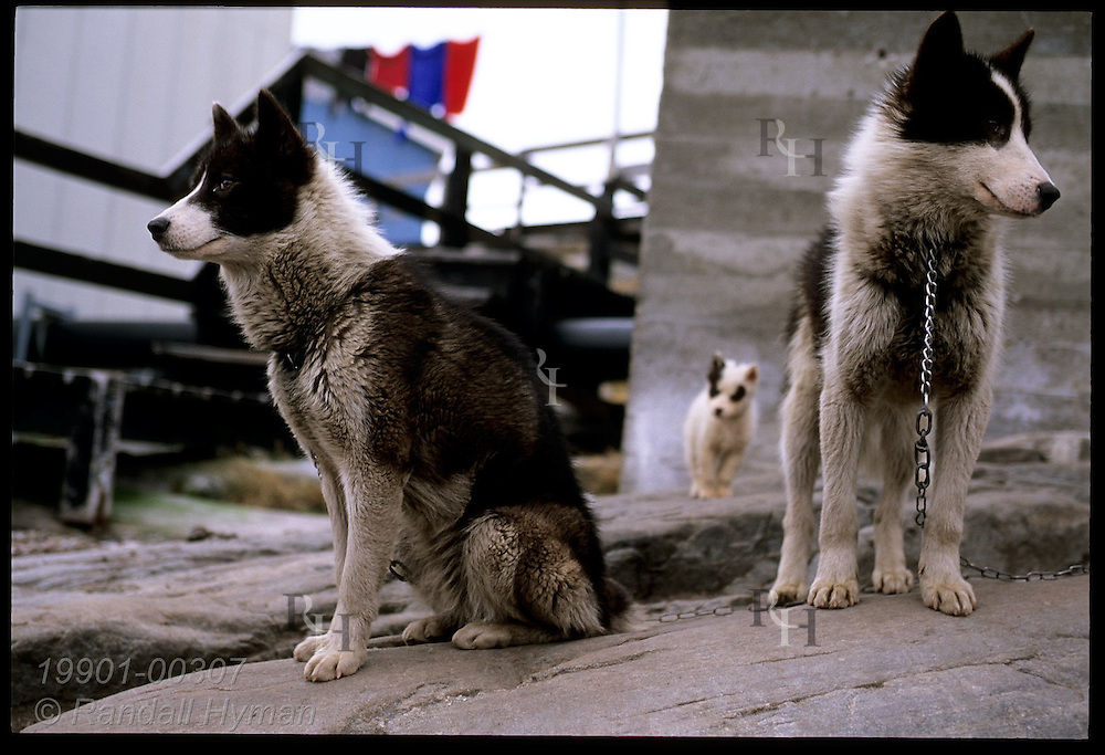 Two sled dogs frame puppy in background as they sit on rock ledge outside home in town of Uummannaq in northwest Greenland