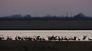 Sandhill Cranes; Grus canadensis; roosting in playa lake;Texas, Crosby Co.