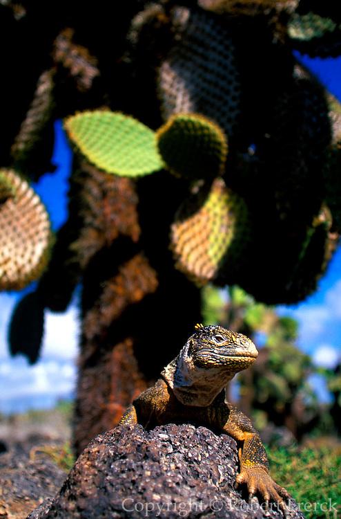 ECUADOR, GALAPAGOS ISLANDS Land Iguana; Conolophus subcristatus; main food source is fruit from cactus,  on South Plazas Island