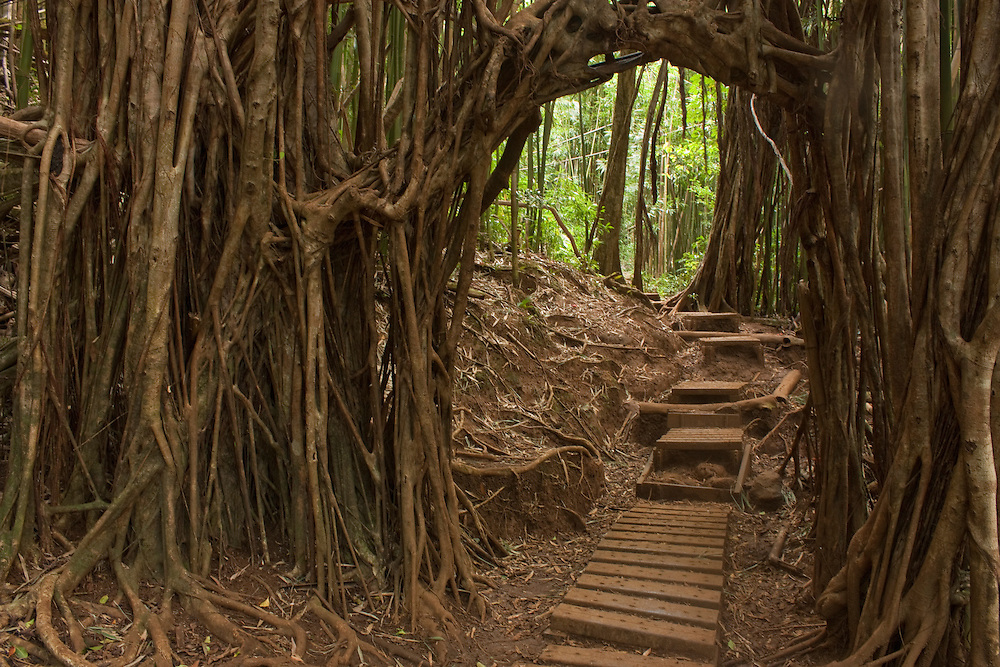 Trail through tree branches and roots, Manoa Valley, Oahu, Hawaii
