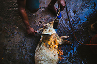 A man prepares a pig at the market in Goa, India.