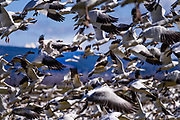 Snow Geese often fly in a dense cloud when they first take off from a feeding location. Only after they become airborne to they form into a more organized flying flock.