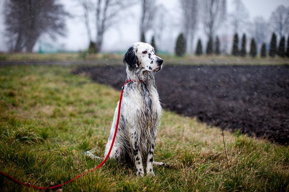 """English Setter """"Rudy"""" sitzt am 17.12. 2017 im Feld von Lysa nad Labem, (Tschechische Republik) wo es gerade begonnen hat zu schneien.  Rudy wurde Anfang Januar 2017 geboren und ist vor einiger Zeit zu seiner neuen Familie umgezogen."""