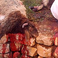 Samaritan Passover