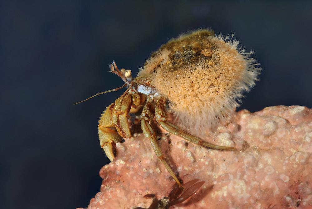 Hydractinia echinata