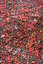 Path covered with the fallen berries of Malus hupehensis - Hupeh crab apple - syn. Malus theifera <br /> Pyrus malus theifera