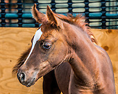arab_foal_2014