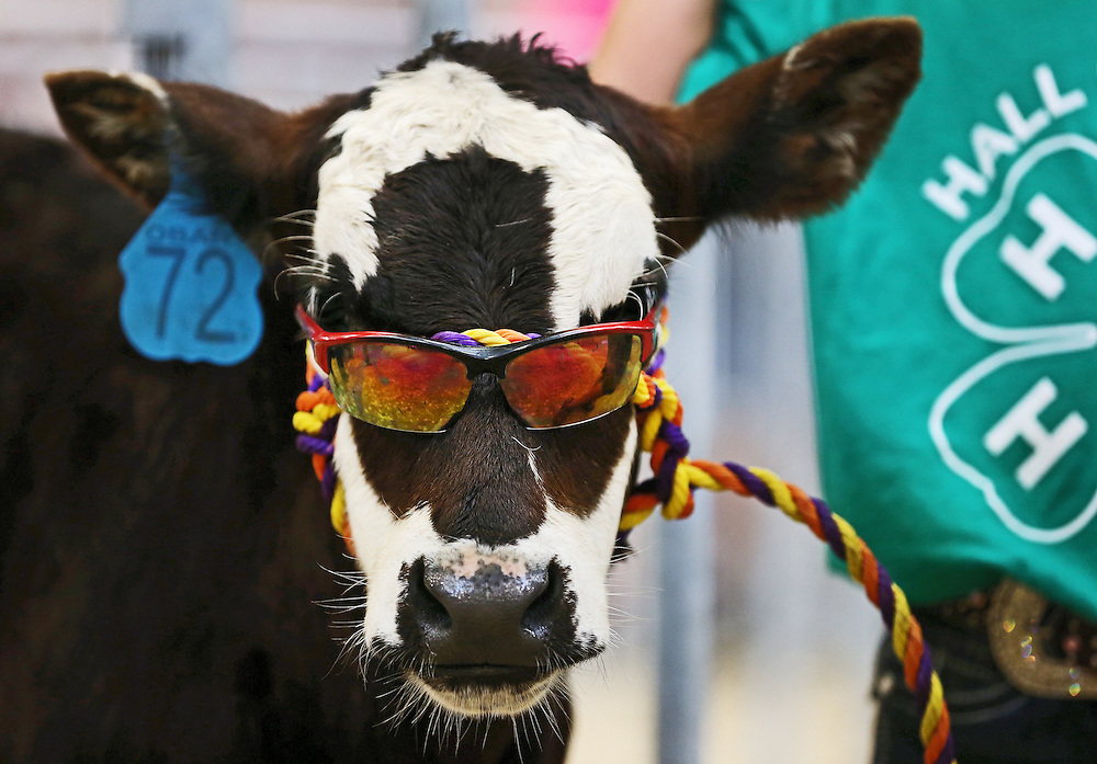 Mickey, a Black Baldy calf, keeps it cool with some shades before being shown by six-year-old Hannah Moeller of Grand Island during the 4-H Bucket Calf Show Friday at the Hall County Fair in the Five Points Livestock Arena in Grand Island. (Independent/Matt Dixon)