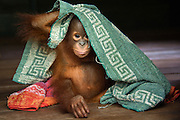 Bornean Orangutan<br /> Pongo pygmaeus<br /> Two year old infant playing with towel<br /> Orangutan Care Center, Borneo, Indonesia