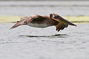 Brown Pelican, Elkhorn Slough, California