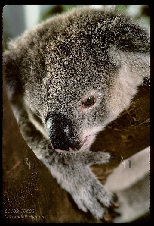 Orphaned 9-month-old koala peers down from forked branch in cage @ Eprapah rehab cntr;(v)Brisbane Australia