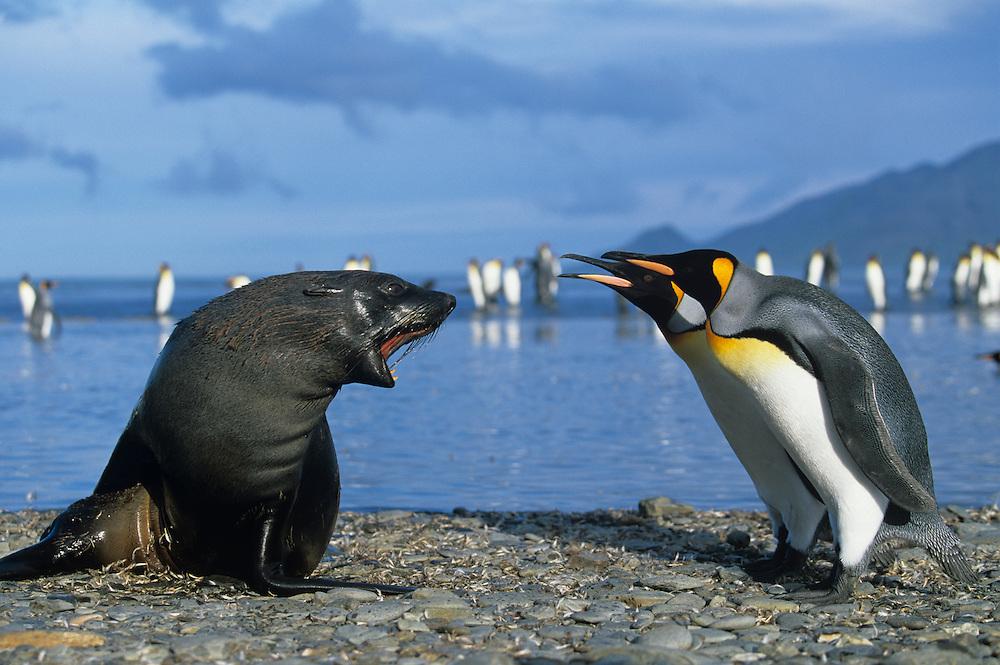 South Georgia Island, St. Andrews Bay, King Penguins (Aptenodytes patagonicus) & Antarctic Fur Seal (Arctocephalus gazella)