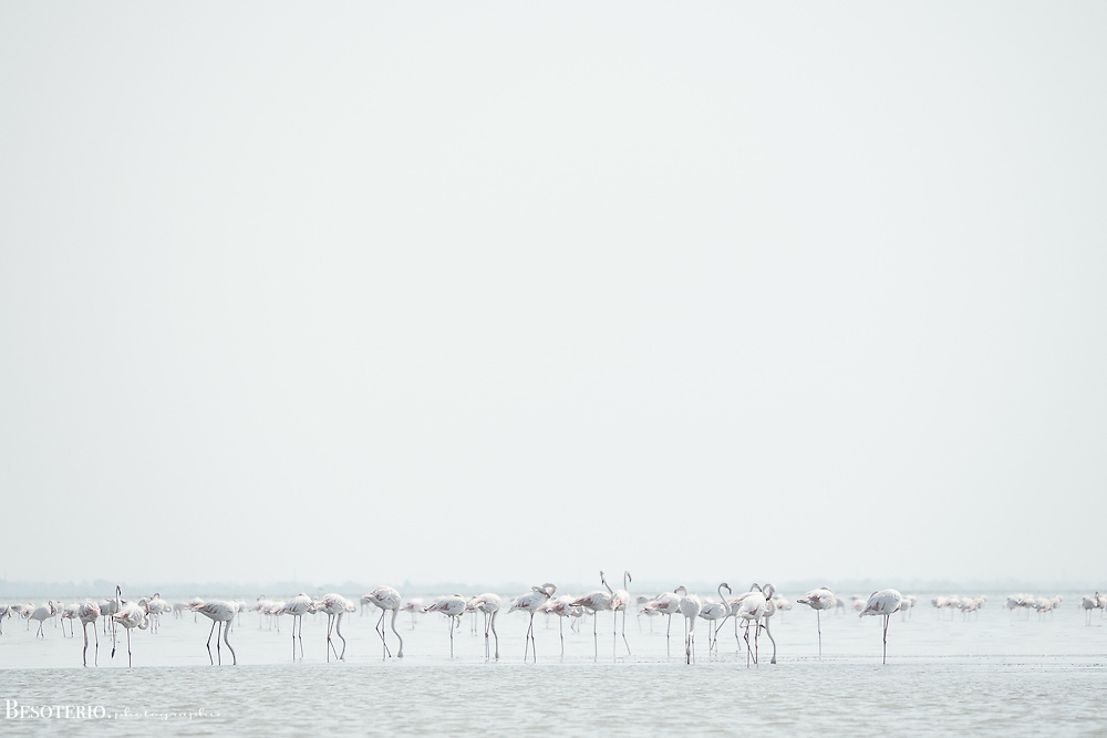 Flamingos feeding in St. Marie de la Mer, France.<br /> <br /> Original fine art print. Select Lustre finish only once in your cart.