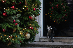 © Licensed to London News Pictures. 19/12/2018. London, UK. Larry the Downing Street cat seen outside 10 Downing Street. Photo credit : Tom Nicholson/LNP