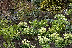 Hellebores - Helleborus x hybridus Ashwood Garden hybrids - and Primula elatior (Oxlips) planted amongst Cornus officinalis and viburnums at Ashwood Nurseries