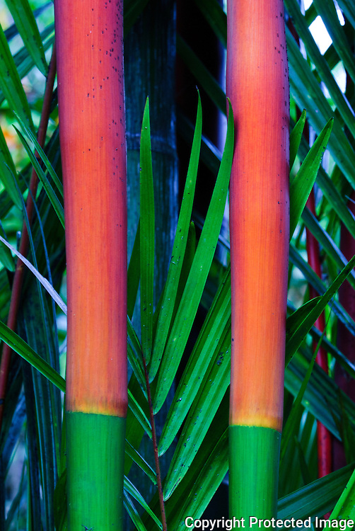 Two stalks of red and green bamboo.