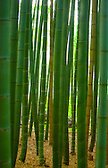 TREVOR HAGAN - Sagano Bamboo Forest. Kyoto, Japan..August 20, 2008