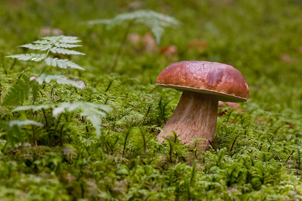 Penny Bun Mushroom in woodscenery with moss and Ferns