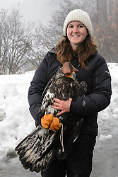 "Rachel Wheat, a graduate student at the University of California Santa Cruz, poses for a photo with bald eagle (Haliaeetus leucocephalus) ""4P"" before releasing the bald eagle back into the wild. Wheat is conducting a bald eagle migration study of eagles that visit the Chilkat River for her doctoral dissertation. She hopes to learn how closely eagles track salmon availability across time and space. The bald eagles are being tracked using solar-powered GPS satellite transmitters (also known as a PTT - platform transmitter terminal) that attach to the backs of the eagles using a lightweight harness. A handmade leather hood is placed over the bald eagle's eyes to keep the bird calm. Leather booties cover the bald eagle's powerful talons to protect researchers during the process of taking measurements and attaching the GPS satellite transmitter. The latest location of this eagle can be found here: http://www.ecologyalaska.com/eagle-tracker/4p/ . During late fall, bald eagles congregate along the Chilkat River to feed on salmon. This gathering of bald eagles in the Alaska Chilkat Bald Eagle Preserve is believed to be one of the largest gatherings of bald eagles in the world."